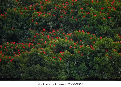 Thousands bright red birds Scarlet Ibis Eudocimus ruber, roosting in mangrove tree   to overnight, very late evening.  Nature theatre in Ramsar site Caroni swamp, Trinidad and Tobago.