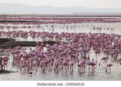 Thousands of Flamingos in Amboseli National Park, Kenya