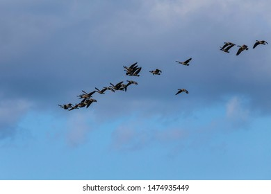 Thousands of geese migrate each year, many hunters await for flocks of Canadian geese