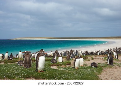 Thousands of Gentoo Penguins (Pygoscelis papua) and Magellanic Penguins (Spheniscus magellanicus) on a large sandy beach on Bleaker Island in the Falkland Islands.