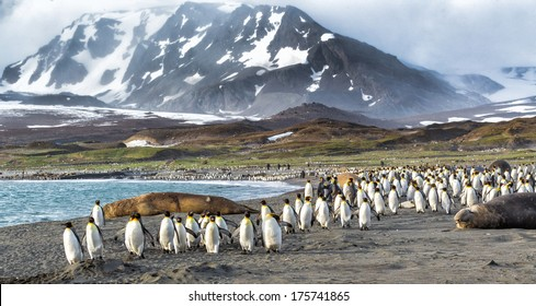 Thousands of King Penguins run from Katabatic winds in St. Andrews Bay, South Georgia