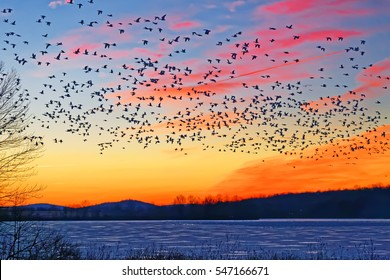Thousands of migrating Snow Geese ( Chen caerulescens ) fly over a frozen lake at sunrise in Lancaster County, Pennsylvania, USA.