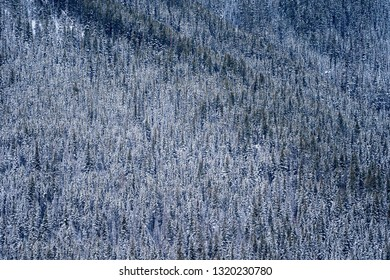 Thousands of snow covered pine trees in a dense forest of Kootenay National Park, British Columbia Canada
