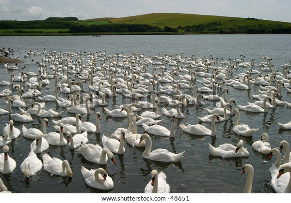 Thousands of swans at the Abbotsbury Swannery, Dorset, England.