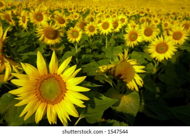 Thousands upon thousands of sunflowers in a field, stretching away into the distance, as far as the eye can see. Focus on one flower at bottom left. Space for text at bottom right.