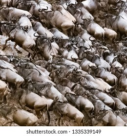 Thousands of wildebeests scramble out of the Mara River during the annual Great Migration. Every year upwards of one and a half million wildebeest make this journey between Tanzania and Kenya