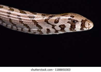 The Thracian glass lizard (Pseudopus apodus thracius) is a large, legless lizard species found in Greece and Bulgaria.