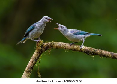 Thraupis episcopus Blue and gray Tanager perches on a tree branch in Trinidad and Tobago nature. The couple is getting ready for the mating