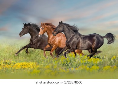Thre beautiful horse run gallop on flowers field with blue sky behind