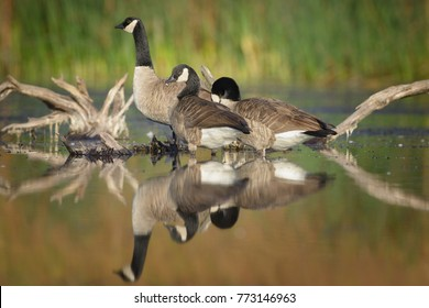 Thre canadian geese wading through shallow water.