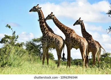 thre curious giraffe,Kruger national park,South Africa