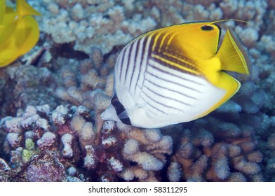 A thread fin butterfly fish makes it's home on a coral reef.