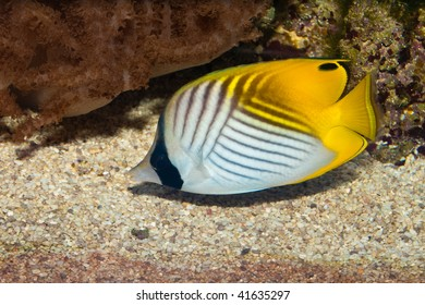 Threadfin or Auriga Butterflyfish
