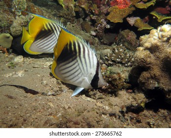 Threadfin butterflyfish couple at night