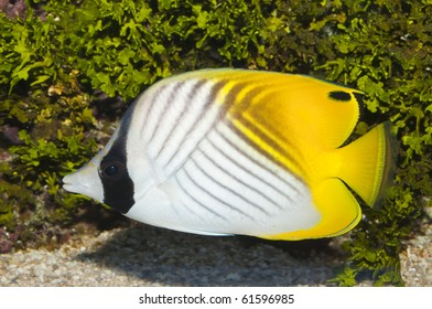 Threadfin Butterflyfish in Saltwater Aquarium