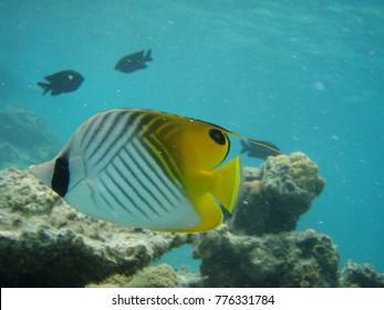 Threadfin butterflyfish scuba diving Okinawa Ishigaki Island with word text space