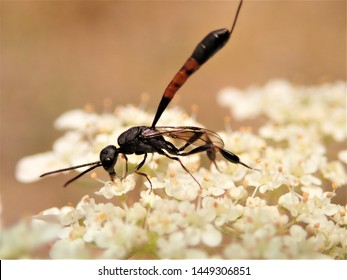 Thread-Waisted Wasp on a Wild Flower called Queen Anne's Lace. AKA Needle-waisted Wasp