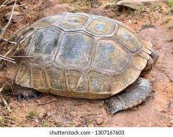Threatened species - Desert Tortoise, Gopherus agassizii