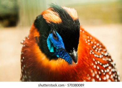 Threatening Tragopan Pheasant portrait