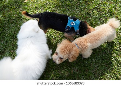 Three (3) Dogs greeting each other by sniffing butts.  Triangle