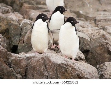 Three adelie Penguins in the Antarctic.