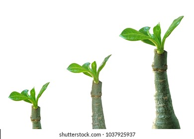 Three Adenium trees by grafting on  white background.