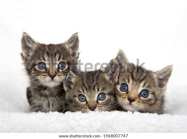 three-adorable-baby-tabby-kittens-600w-1