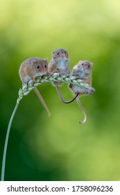 Three adorable harvest mice on a single wheat ear from a spring trip to Dorset