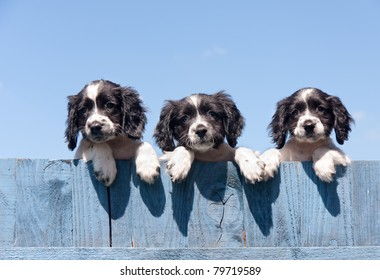 Three adorable mischievous black and white puppies looking over blue fence set against blue sky