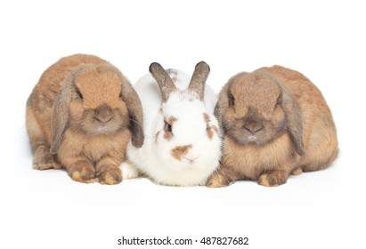 Three adorable rabbit on white background; Two brown Hollands Lops rabbits and one white and brown bunny