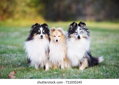 three adorable sheltie dogs posing outdoors in autumn