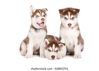 three adorable siberian husky puppies on white