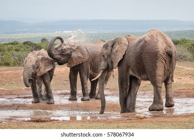 Three adult African Elephants (Loxdonta) splashing water and drinking at a water hole, in Addo Elephant Park, South Africa