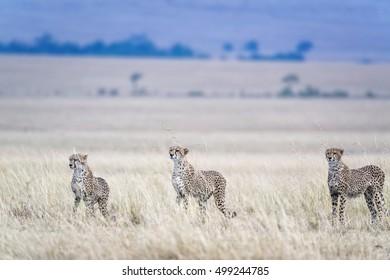 three adult cheetahs  hunting, Masai Mara National Reserve, Kenya, East Africa