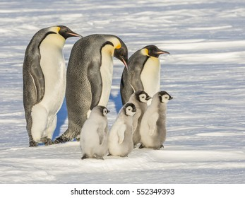 Three adult Emperor Penguins with four chicks