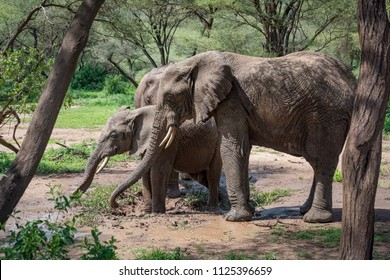 Three African elephants in muddy water hole