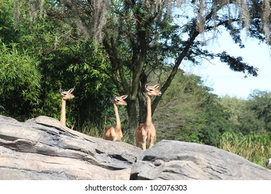 Three African Female Gerenuk