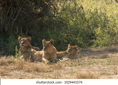 Three African Lioness Lying in Brown and Dry Grasslands