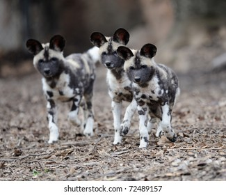 Three African painted wild dogs (Lycaon pictus) pups
