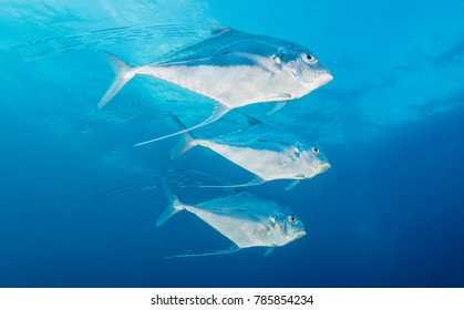 Three African pompano fish, a type of jack, swim in unison in The Bahamas.