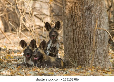Three African Wild Dog puppies (Lycaon pictus) looking at the camera