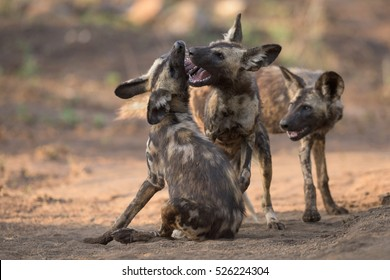 three African Wild Dogs (lycaon pictus) play fighting during sunrise in Zimanga Private Game Reserve