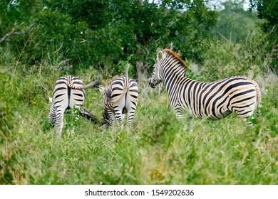 Three african zebras grazing in the wild