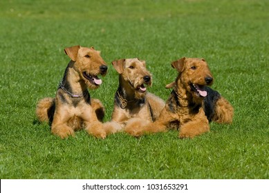 Three airedale terrier lying in a meadow