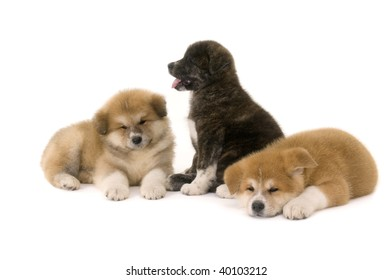 Three  Akita Inu puppy dog on white background