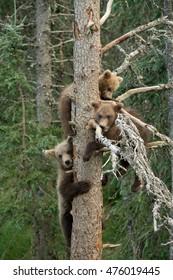 Three Alaskan brown bear cubs in a tree near Brooks Falls in Katmai National Park