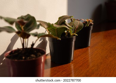 Three aligned houseplants, on top of a wooden table, receiving direct sunlight natural light. Plants such as maranta and fittonia.