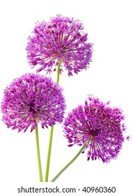 Three Alliums Ornamental Onions isolated on white background