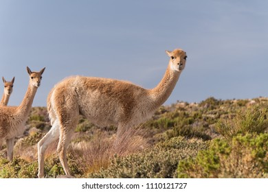 Three Alpacas looking at you in grass land in the Atacama Desert with blue background