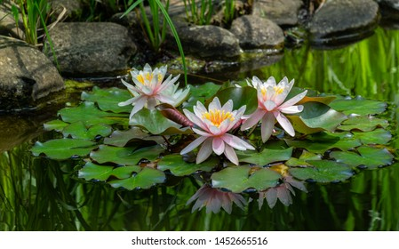 Three amazing bright pink water lilies or lotus flowers Marliacea Rosea in old pond. Nympheas are reflected in dark water. Summer flower landscape, fresh wallpaper and nature background concept